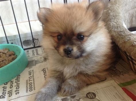 how much does a pomeranian cost uk pomeranian puppies