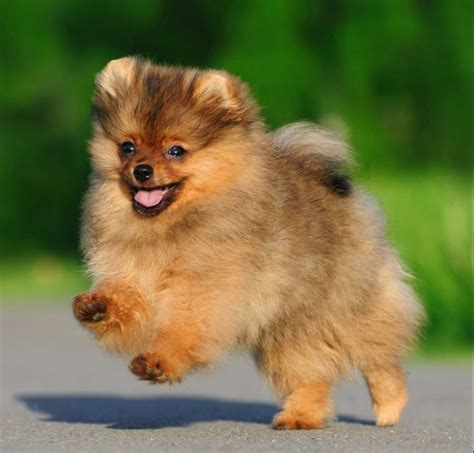 pomeranian sale largest variety best quality puppies for sale 2018 puppy singapore