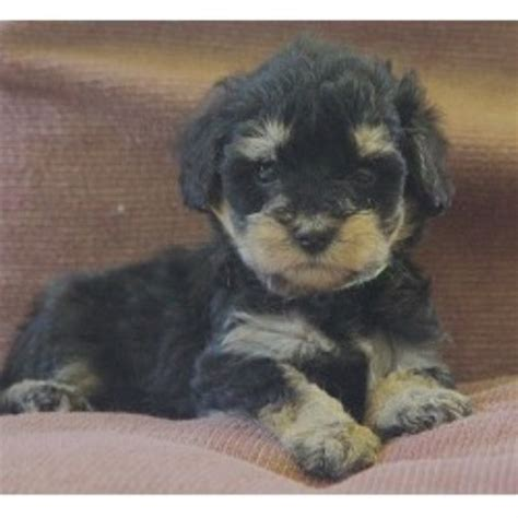 schnoodle puppies rescue shelbo schnoodles schnoodle breeder in isanti minnesota