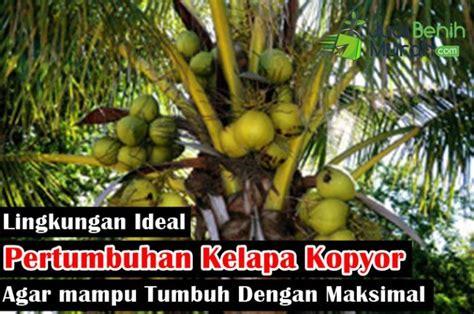 Mencari Bibit Kelapa Kopyor lingkungan ideal kelapa kopyor jualbenihmurah