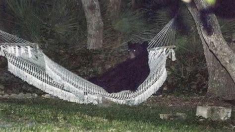 bear hangs   hammock  daytona beach florida