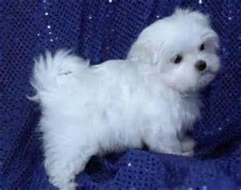 teacup puppies for sale missouri maltese breeders in missouri breeds picture