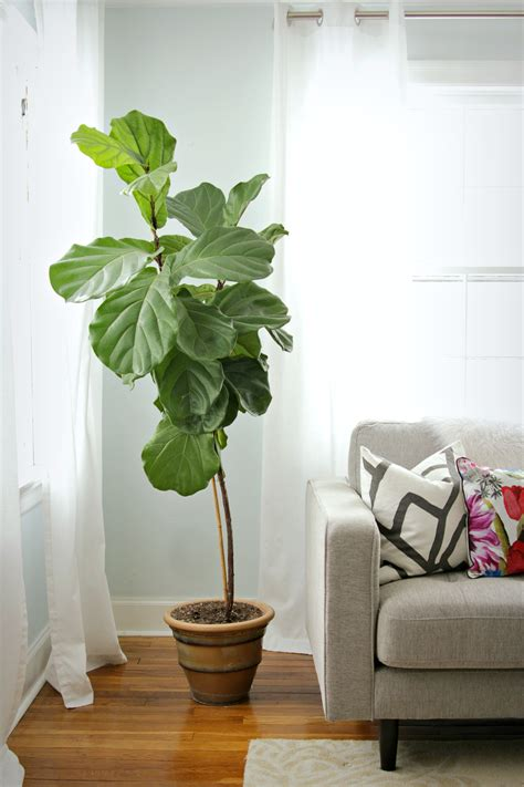 indoor house tree how to keep a fiddle leaf fig alive and happy fiddle