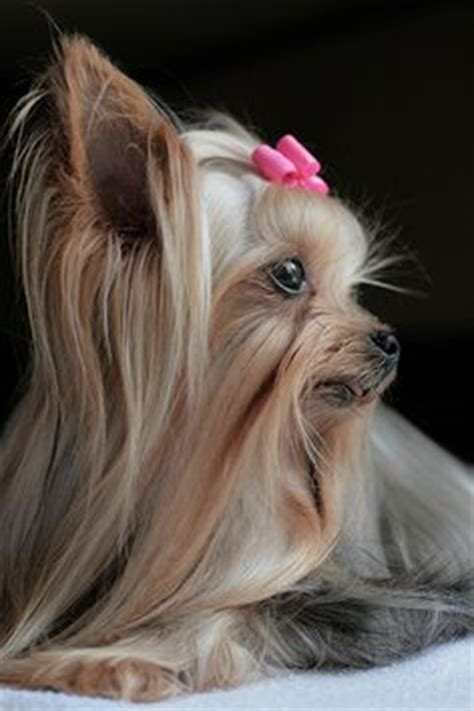 how do you potty a yorkie 1000 images about for the of yorkie s on yorkie yorkies and