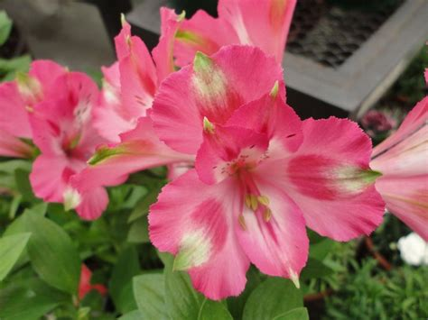 imagenes flores astromelias las hermosas astromelias plantas
