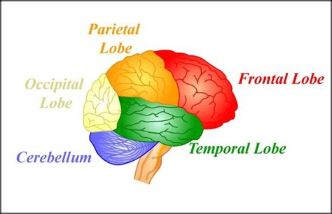 what color is the brain the brain noba