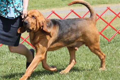 Bloodhound Shedding by Bloodhound Information And Pictures Breed Info Breeds Picture