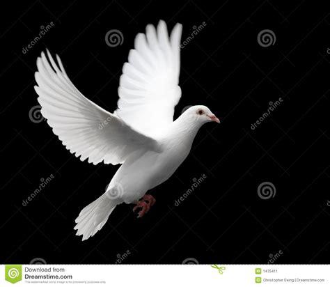 imagenes de palomas blancas en vuelo paloma en vuelo 1 del blanco imagen de archivo imagen