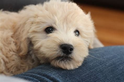 goldendoodle puppy nyc 7 best 4 8 weeks goldendoodle puppies from 2014