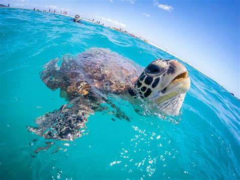 Tortle Air S green sea turtles must breath air for oxygen a loud gasp