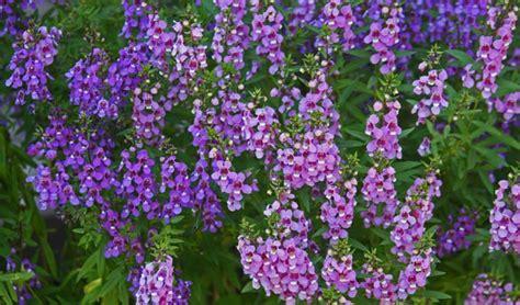 Tanaman Angelonia Putih 24 jenis tanaman hias tahan panas matahari