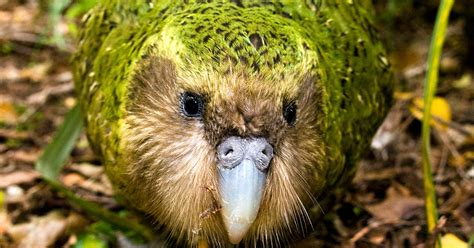 Get A Home Plan Com by The Critically Endangered Kakapo Parrot Is Having One