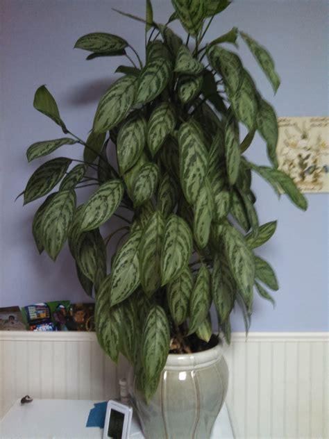 identifying house plants calathea plant cordyline house plant identifying common