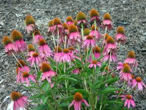 purple coneflower nature photo gallery