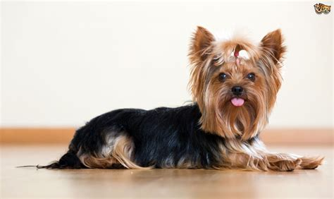 grooming for yorkies the do s and dont s of grooming a terrier pets4homes