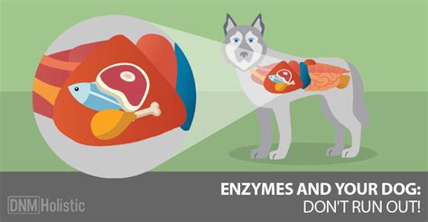 enzymes for dogs the deal with digestive enzymes and your