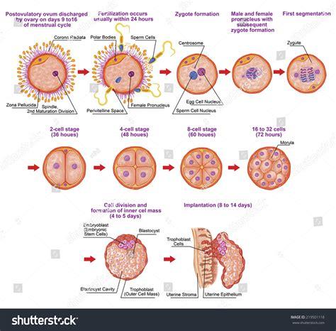 embryogenesis pattern formation from a single cell human ontogeny fertilization developmental stage