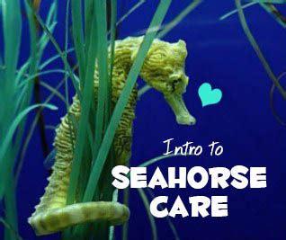 intro  seahorse care