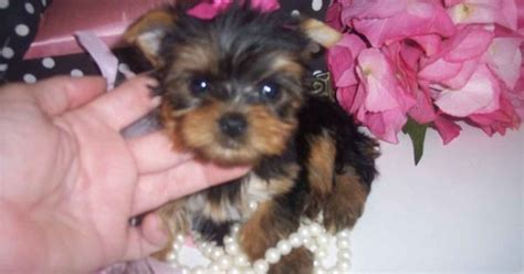 teacup yorkies for sale in carolina tiny teacup yorkies for sale in carolina breeds picture