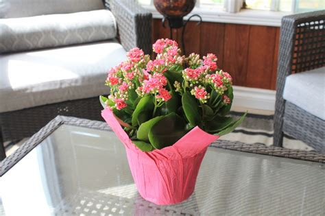 kalanchoes willyfresh plants
