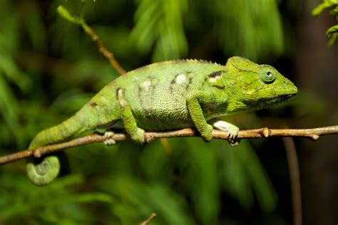 capturing floridas chameleons  small invasive reptile
