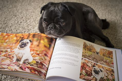 pugs perth review pugs of perth coffee table book the pug diary