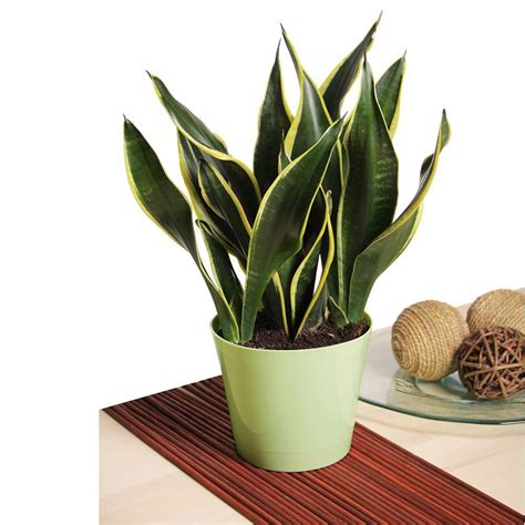 house for plants snake plant snkplt the home depot