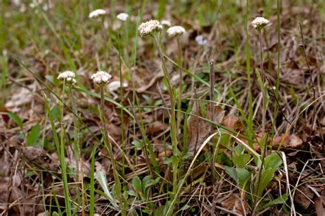 katharine capsella 100 capsella katharine folkard richard plant lore