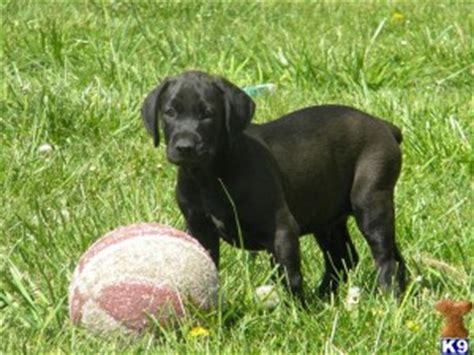 canis panther puppies canis panther characteristics breeders and more