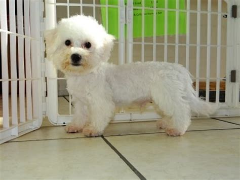 puppies for sale in nashville bichon frise puppies dogs for sale in nashville tennessee tn 19breeders