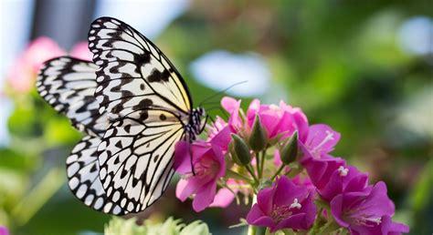 imagenes de rosas y mariposas bellas mariposas gu 237 as de especies im 225 genes y recursos