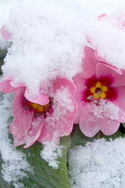 fiori in inverno fiori invernali quali sono un elenco dettagliato