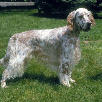 english setter dog training 344 best images about dog breeds a z on pinterest