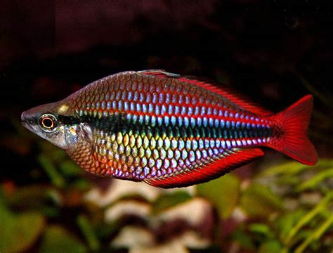 www fish rainbow fish wallpapers 2013 wallpapers