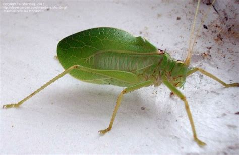 What Gardening Zone Am I In By Zip Code - bug pictures common true katydid pterophylla camellifolia by marilynbeth
