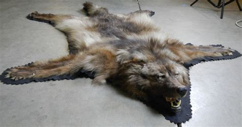 wolf skin rug image gallery wolf rug