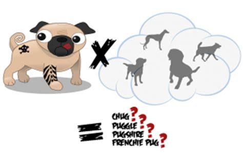 pug cross breeds australia pug information information uk artists