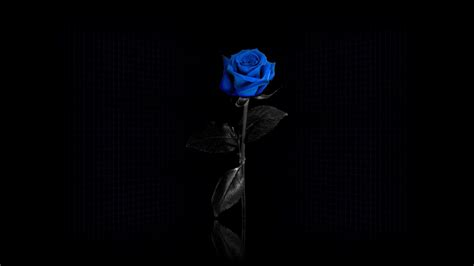 black rose themes blue rose wallpapers wallpaper cave