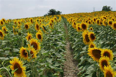 sunflower fields perigord france the secret garden atlas