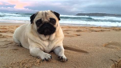 pug at the this pug to chill at the