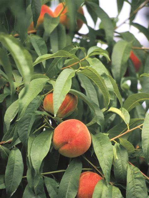tree ripened fruit how to grow by the patio hgtv
