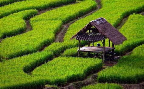 rice field hd wallpaper pemandangan pantai cenang gambar