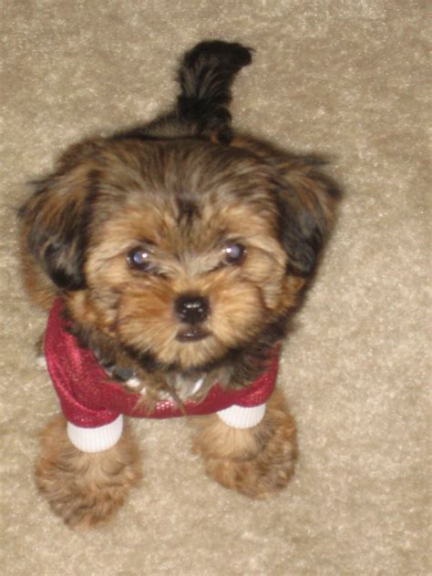 shorkie tzu puppies for sale shorkie dogs car interior design