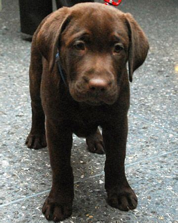 golden retriever upset stomach 162 best chocolate labs images on