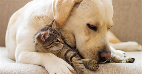 phantom pregnancy in dogs understanding false pregnancy in dogs