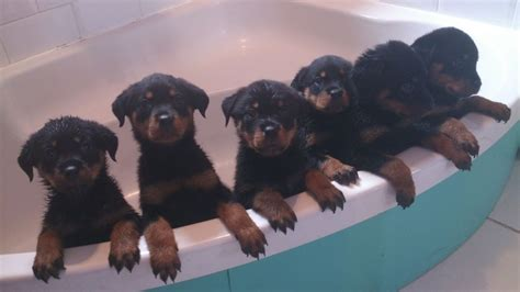 rottweiler puppies california pin behavior rottweiler breeders california breeder dogs on