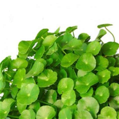 manfaat daun pegagan  kesehatan   diketahui