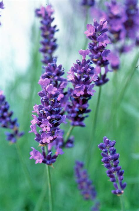 Lavandula Angustifolia Hidcote Blue 2479 by The Top 10 Plants For Small Gardens The Garden