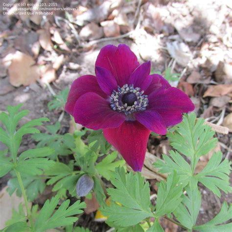 anemone bordeaux plantfiles pictures grecian windflower poppy anemone