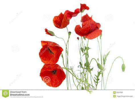 imagenes sin fondo balnco poppies isolated on white background stock image image